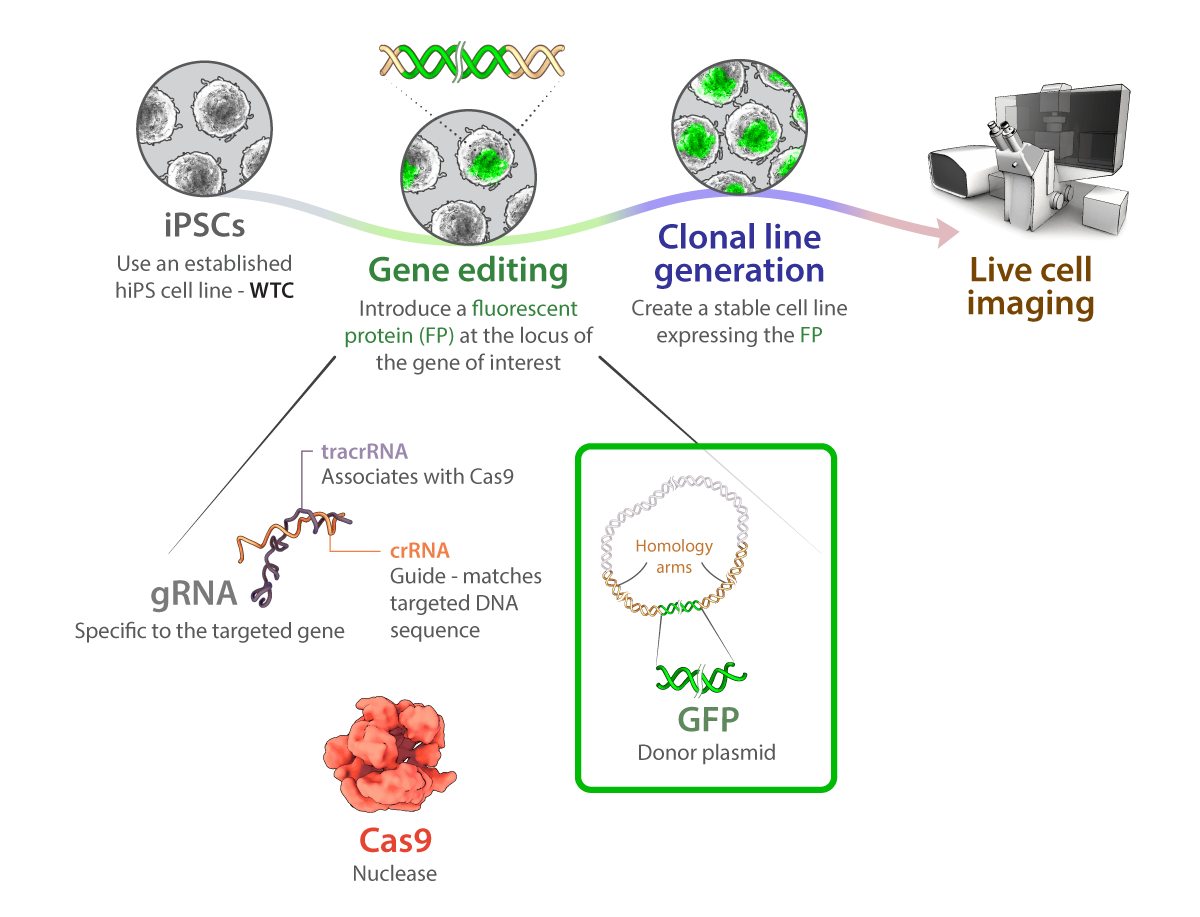 Schematic for gene editing of Allen Institute for Cell Science stem cells