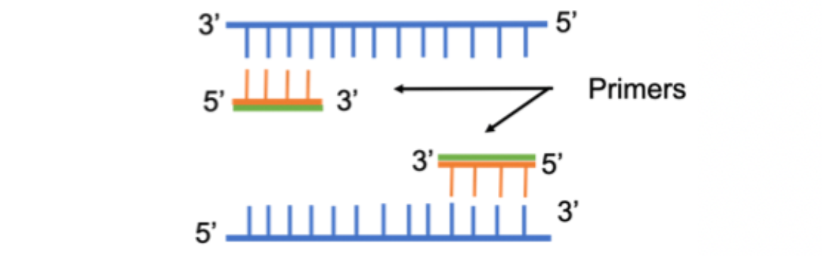 An image displaying forward and reverse primers binding to template DNA