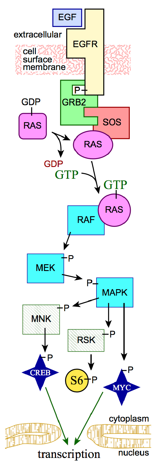 The Ras Signalling pathway