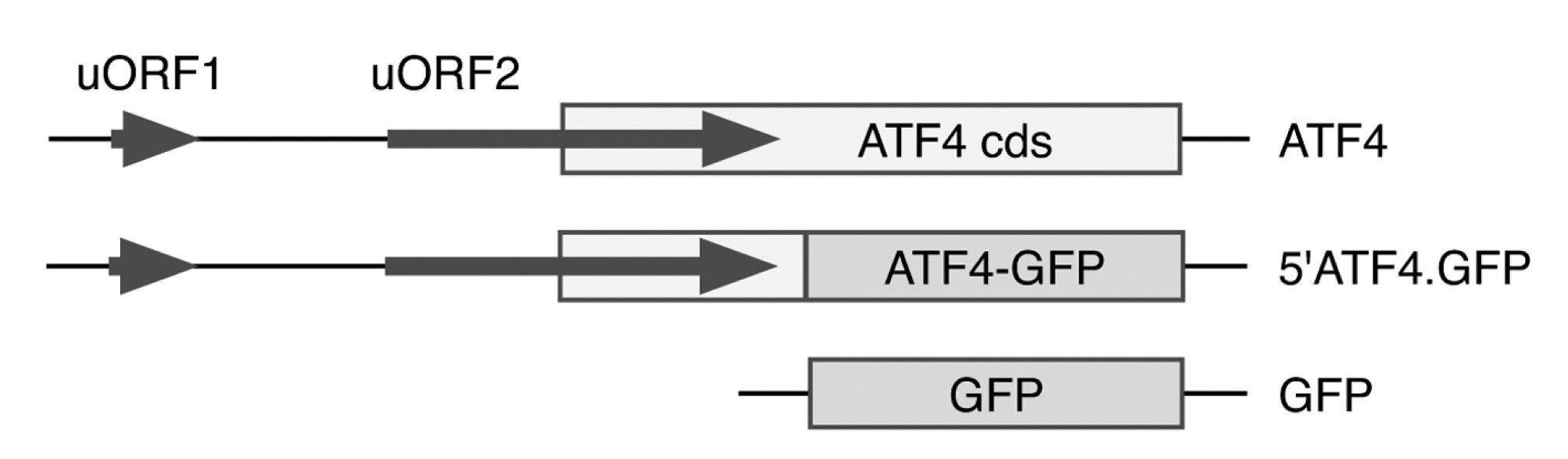 Addgene: ATF4 5: 5'ATF4 GFP