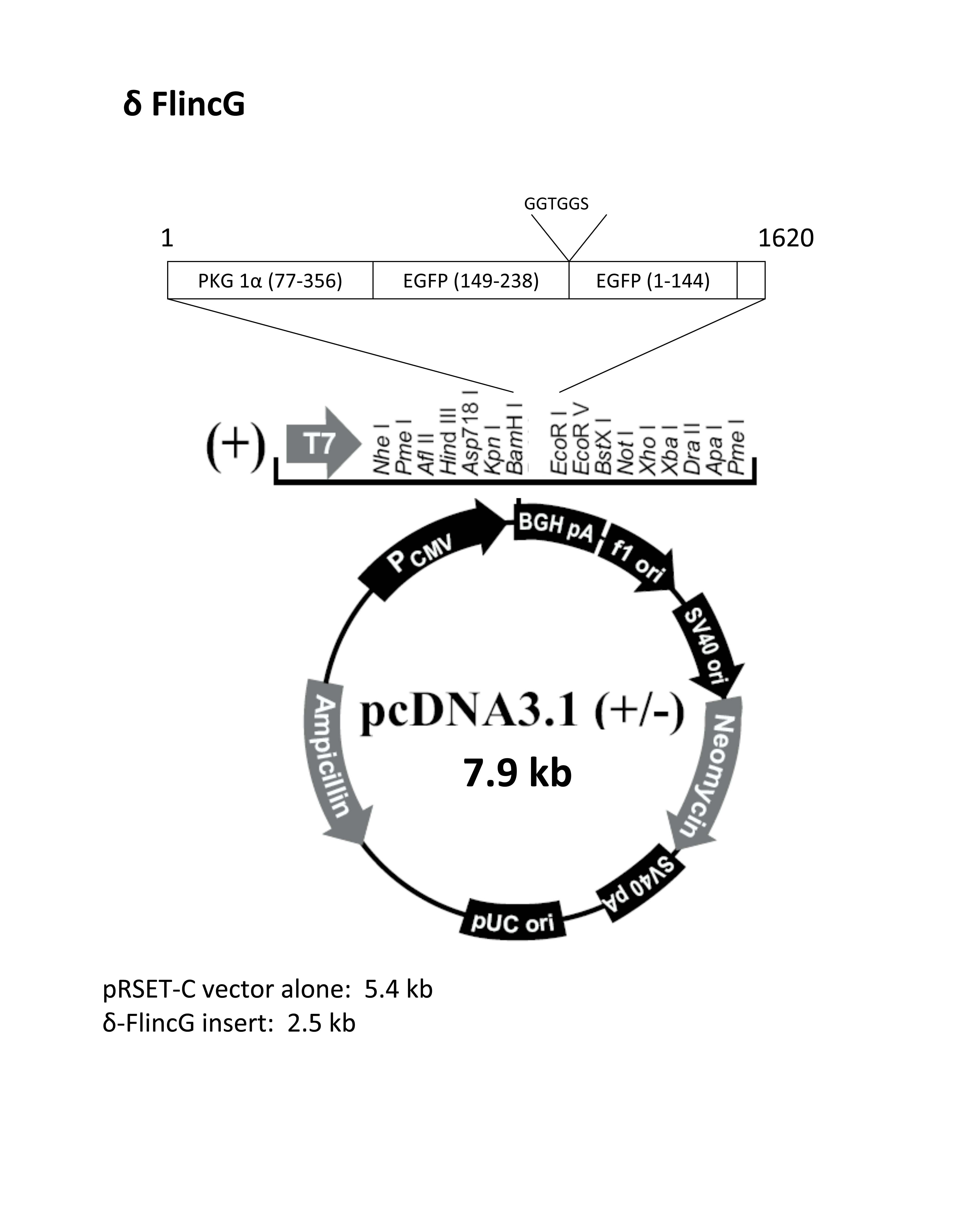 Pcdna3 1 Map Addgene: pcDNA3.1(+) deltaFlincG