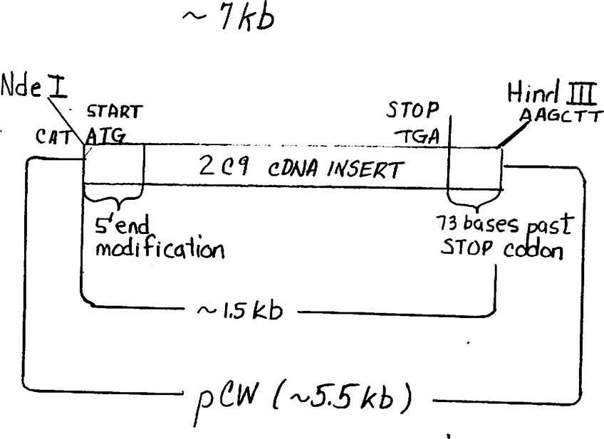 Addgene: CYP2C9 in vector pCW ori+