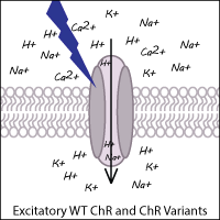 Excitatory Channelrhodopsin