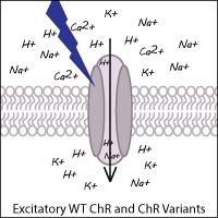 Excitatory Channelrhodopsin