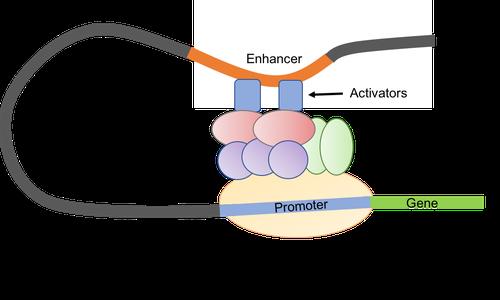 Eukaryotic Promoter