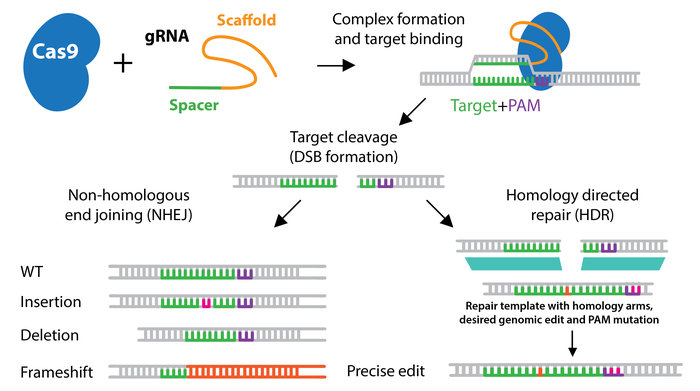CRISPR-nhej-hdr-horizontal-2.png