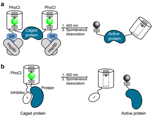 PhoCI Optogenetics Tools