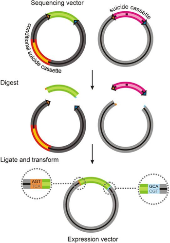 Illustration of subcloning process from cloning to expression vector