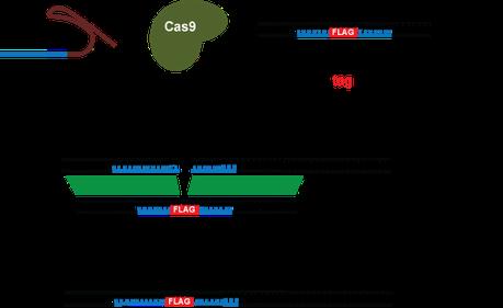 Diagram of CRISPR Tag method
