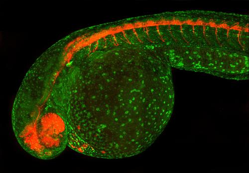Tol2 Transgenic Zebrafish