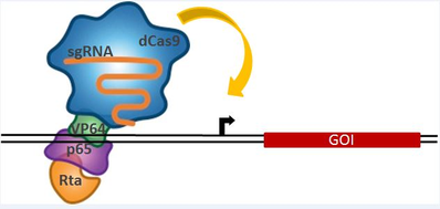 dCas9-VPR cartoon diagram