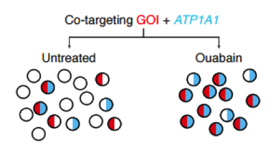 CRISPR Ouabain Coselection