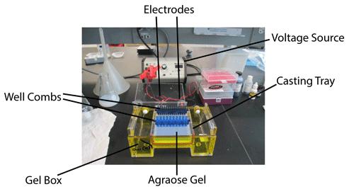 Addgene: Protocol - How to Run an Agarose Gel