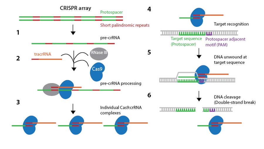 CRISPR endogenous system cartoon