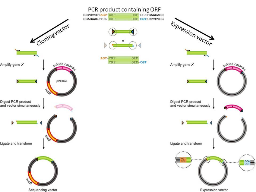 Illustration of FX cloning process for a PCR product into a cloning or expression vector
