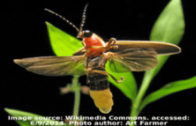 Wikipedia image of firefly