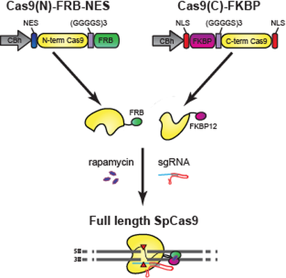 Split cas9 architecture diagram