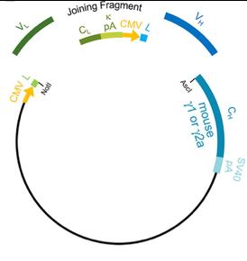 Schematic of antibody plasmid
