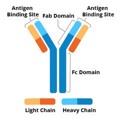 Antibody schematic