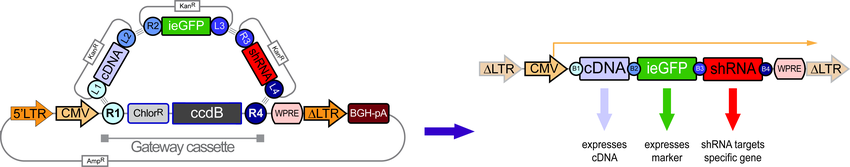 Expressing cDNA and one or more shRNAs with marker
