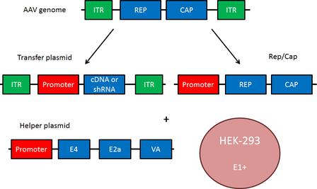 AAV plasmid component diagram