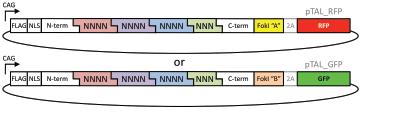 Musunuru-TALEN-plasmids_1.png
