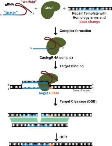 CRISPR diagram of homology direct repair or HDR