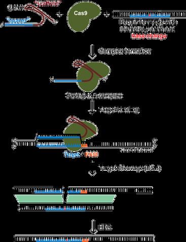 CRISPR diagram of homology direct repair or HDR