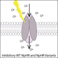 Halorhodopsin schematic