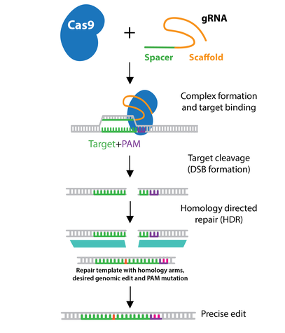 CRISPR diagram of homology directed repair or HDR