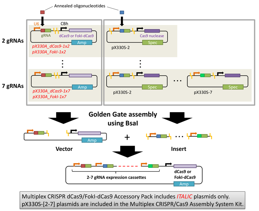 Figure illustrating assembly process using dCas9 or FokI/dCas9 accessory plasmids