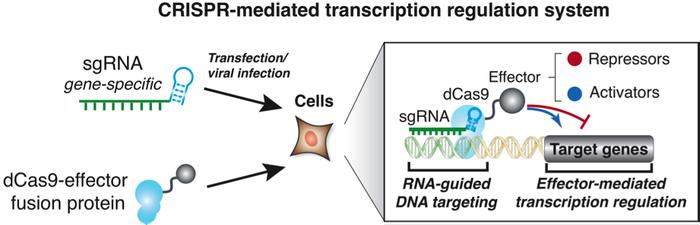 CRISPR mediated transcription cartoon