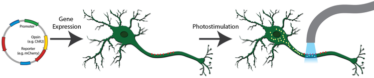 expression of a channelrhodopsin in neurons