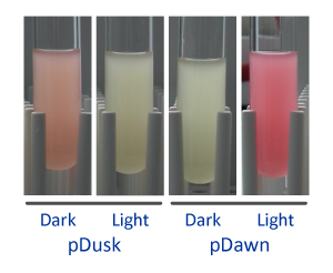 pDusk-pDawn-optogenetics-Andreas-Moeglich.png