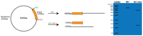 Verifying Total Plasmid Size