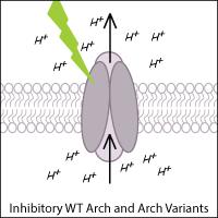 Archaerhodopsin schematic