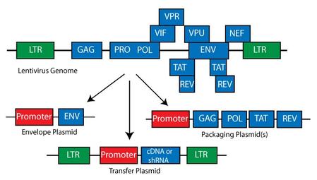 Lentivirus genome in plasmid format