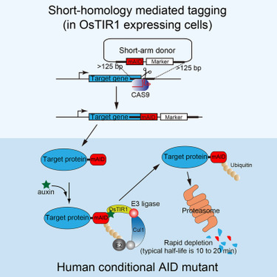 CRISPR AID Tagging Graphical Abstract