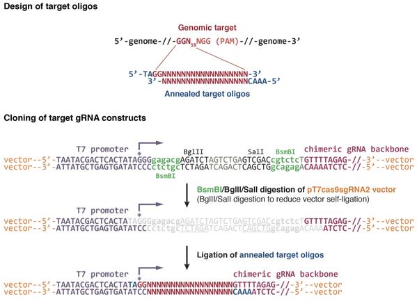 Chen lab plasmid cloning figure