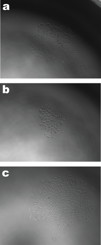 Colonies formed from single cells after lentivirus transduction