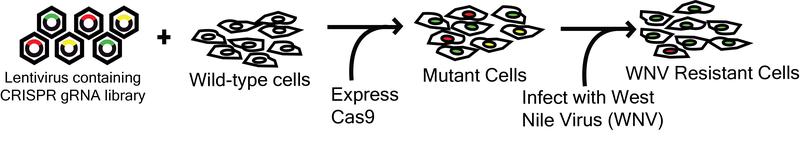 Wu Lab Human Lentiviral CRISPR Library