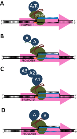 Diagram of CRISPR activation or repression