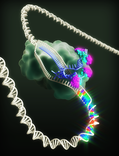 CRISPR-X mutates the genome