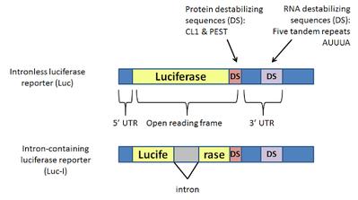 Luciferase construct diagrams