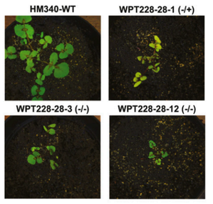 Genome Engineering of M. Trunculata