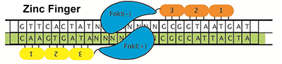 figure of zinc finger system binding to DNA
