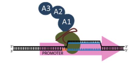 CRISPR VPR Activator