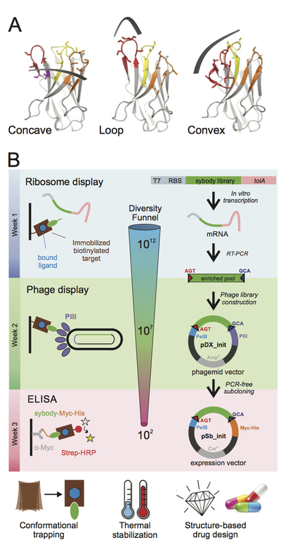 Schematic overview of Sybody generation