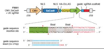 px601 plasmid map