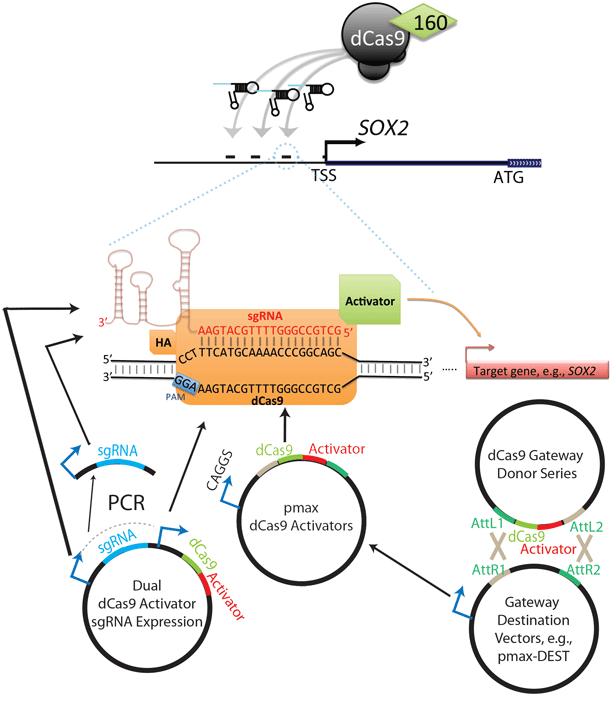Jaenisch-lab-activator-schematic